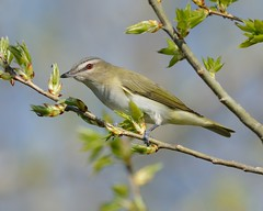 2018-05-05 Montrose Point 15 (JanetandPhil) Tags: 2018naturepreservesvariouslocations birds nikon nikkor d800 800mmf56 montrosepointbirdsantuary magichedge lincolnpark chicagoparkdistrict chicagoil redeyedvireo vireoolivaceus