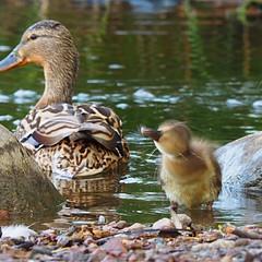 Shake it, shake it 🐥💦🐥💦🐥🎵🎶 (sonjawitting) Tags: summernature finland astoundingimages naturedetails naturecaptures nordicnature nordicsummer seaside birdphotography duck ducklings