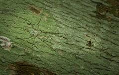 small world (dustaway) Tags: arthropoda arachnida araneae araneomorphae australianspiders rotarypark rprr rotaryparkrainforestreserve lismore nature northernrivers nsw australia hersiliidae tamopsistweedensis hahniidae