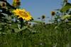 El pequeño girasol. The little sunflower. (.Guillermo.) Tags: flor flower flowers sunflower girasol naturaleza nature yellow