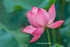Y3024.0614.Hồng Đà.Tam Nông.Phú Thọ. (hoanglongphoto) Tags: asia asian vietnam northvietnam flower lotus nature natureinvietnam canon canoneos1dsmarkiii ninhbình giaviễn giavân thiênnhiên hoa hoasen hoasenhồng pinklotus canonef100400mmf4556lisusm blossom lotusblossom cậncảnh close closeup