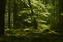 Lichtstrudel (g e g e n l i c h t) Tags: wald licht schatten lichtspiele natur landschaft bäume grün wood forrest trees nature landscape green lights summicronr2050mm