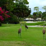 Sandhill Crane Family thumbnail
