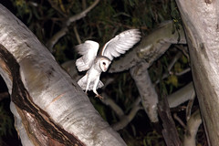 And he is off (Roz B) Tags: approved owls nature barn owl birds queensland australia
