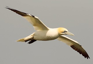 Gannet in Flight  (Explored)
