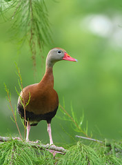 2018-06-26 P1377332 Black-bellied Whistling Duck (Tara Tanaka Digiscoped Photography) Tags: bird duck digiscoped blackbelliedwhistlingduck swarovskistx85 gh5 swamp cypress florida green pink