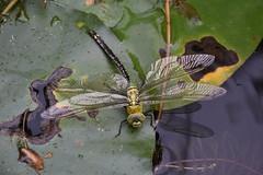 DSC_0679 (griecocathy) Tags: insecte libellule nénuphar eau reflet plante ailes jaune vert noir tache gouttelette