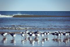 Gull Wave (matthewkaz) Tags: seagull seagulls gull gulls birds ocean atlanticocean water wave waves reflection reflections myrtlebeach sc southcarolina 2018