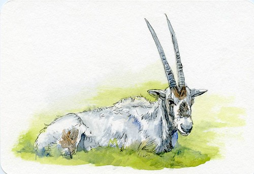 Postcards for the Lunch Bag - Arabian Oryx