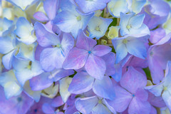 Hydrangea (Hiro_A) Tags: flower hydrangea ehime shikoku shikokuchuo japan nikon d7200 sigma 1770mm 1770