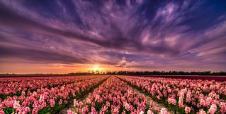Ardent sunset over Dutch flower fields.