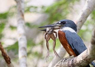 Ringed Kingfisher with a meal
