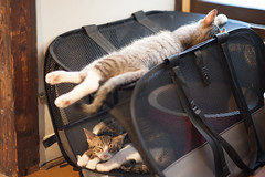 [ハチマロ通信] あまりに自由な昼寝をするマーロウ (moriyu) Tags: japan tokyo nikon d700 cat ニコン 猫 東京