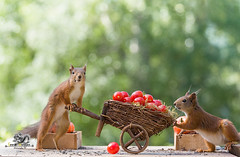 red squirrels with an wheelbarrow and tomatoes (Geert Weggen) Tags: agriculture animal backgrounds closeup colorimage crop cultivated cute dirt environment environmentalconservation environmentaldamage environmentalissues food freshness gardening global greenhouse growth harvesting healthyeating horizontal humor lifestyles mammal nature newlife nopeople organic outdoors photography planetspace planetearth plant pollution red rodent seed socialissues springtime squirrel summer tomato vegetable garden wheelbarrow pumpkin bispgården jämtland sweden geert weggen ragunda hardeko