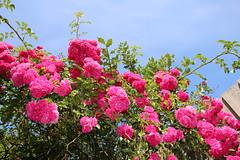 Pye Green Garden (Hednesford8) Tags: rambling rose clematis lily bergamot hosta staffordshire hednesford
