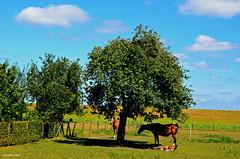 LANDSCAPE (JaapCom) Tags: jaapcom landscape landschaft landed zalk trees horses dutchnetherlands clouds holland natural naturel deer animals