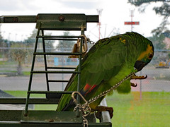 Chewing On His Bell Chain. (dccradio) Tags: hamer sc southcarolina dilloncounty dillon bird bluefrontamazon parrot indoor indoors inside southoftheborder roadsideattraction touristattraction zoo thereptilelagoon cage birdcage nature animal wild wildlife canon powershot elph 520hs