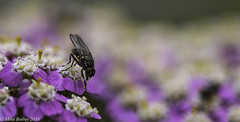 A Fly!!! (MWBee) Tags: fly insect flowers macro sigma sigma105 mwbee nikon d750 runcorn cheshire nationalgeographicwildlife