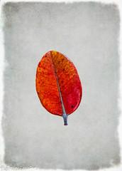 Leaf Series 22 (lorinleecary) Tags: digitalart artography manipulatedimage textured red leaf composite morrobay