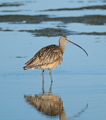 Long-billed Curlew (Digital Plume Hunter) Tags: