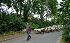 Groningen: sheep in the street (Henk Binnendijk) Tags: groningen helpman breedeborg kooiweg helperzoom nederland netherlands dutch holland groningenzuid beuckemaborg schapen sheep herder schaapshond schaapskudde shepherd straat maaischapen