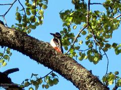 Great Spotted Woodpecker (PeepeT) Tags: dendrocoposmajor greatspottedwoodpecker käpytikka