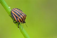 アカスジカメムシ Graphosoma rubrolineatum (takapata) Tags: sony sel90m28g ilce7m2 macro nature insect
