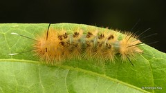 Tiger moth caterpillar, Erebidae: Arctiinae (Ecuador Megadiverso) Tags: amazon andreaskay arctiidae arctiinae caterpillar ecuador erebidae hairy id493 rainforest tigermoth