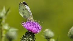 Butterfly - 5521 (ΨᗩSᗰIᘉᗴ HᗴᘉS +19 000 000 thx) Tags: butterfly papillon macro flower flora green nature hensyasmine namur belgium europa aaa namuroise look photo friends be wow yasminehens interest intersting eu fr greatphotographers lanamuroise tellmeastory flickering