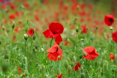 Poppies in the Rain ! (eric robb niven) Tags: ericrobbniven poppies wild flowers summer bokeh nature perthshire springwatch