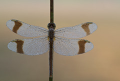 Bandheidelibel - Sympetrum pedemontanum (peter nijland) Tags: twente dinkelland denekamp dauw dew dragonfly libel tamron 90mm netherlands natuur nature