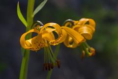 _DSF4890 (jiggumbob) Tags: mountrainier mtrainier mtrainiernationalpark usnationalpark nature wilderness flower flowers lily wildtigerlily columbialily crystalpeak