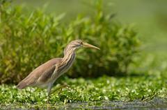 Squacco Heron: Ardeola ralloides (renzodionigi) Tags: rallenreiher tophejre garcillacangrejera crabierchevelu sgarzaciuffetto ralreiger pelecaniformes ardeidae