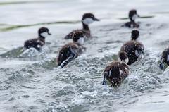 Ducklings in high gear (wildwood4est) Tags: commongoldeneye manitoba victoriabeach wildlife birds bucephalaclangula duckling