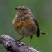 Rouge-gorge familier juvénile (Erithacus rubecula)