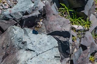 American Pipit , Cape Pine