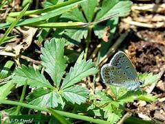 Azuré bleu céleste mâle (Jean-Daniel David) Tags: nature réservenaturelle vert closeup grosplan yverdonlesbains suisse suisseromande vaud verdure feuille pelouse papillon azuré azurébleu mâle