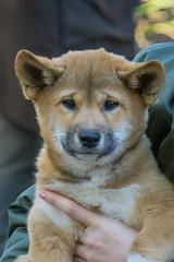 Yep, I know I'm super cute!! (ImagesByLin) Tags: australianreptilepark centralcoast dingo dingopup animals australiananimals cute puppy sonya6000 wild dog