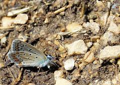 Azuré bleu céleste mâle 2 (Jean-Daniel David) Tags: insecte insectevolant nature réservenaturelle closeup grosplan bokeh yverdonlesbains suisse suisseromande vaud sol terre cailloux gravier