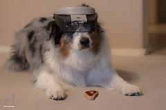 The Dog Treat-ologist (Jasper's Human) Tags: dog aussie australianshepherd bone treat jeweler