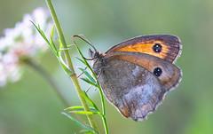 Rotbraunes Ochsenauge (Pyronia tithonus) (Andrelo2014) Tags: rotbraunes ochsenauge pyronia tithonus sonya77ii sigma 105mm macro butterfly