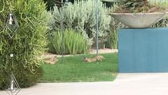 Wait for it...Wait for it... (j.towbin ©) Tags: allrightsreserved© video bobcats nature animals playful kittens img7263 wildlife arizona ourbackyard animal mammal