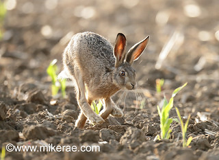 Brown hare young maize dry ground. July Suffolk.  Lepus europaeus