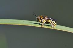 Guêpe - Vespa - Wasp (pablo 2011) Tags: collectionnerlevivantautrement patrickblondel toulouse nature jardincompanscaffarelli étang pond nikond500 nikkor200500mm insecte insect macro closeup proxi guêpes wasp vespa