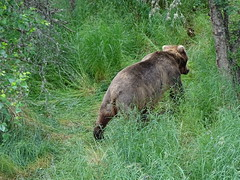 DSC07535 (jrucker94) Tags: alaska katmai katmainationalpark nationalpark bear bears grizzly grizzlybear brooksriver nature outdoors