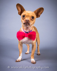 CRT-20180711_Baby-2.JPG (Alfred Kirst III) Tags: akiii photography alfred kirst iii chihuahua rescue transport long hair blond male 2142894889 ak3photography akiiiphotography alfredkirstiii alienbees chi dog malechihuahua paulcbuff texas adoptablepuppies chihuahuarescueandtransport cute cutepuppy cutie female femalechihuahua foster fosterdog fosterpuppies longhairchihuahua oldman plano shorthairchihuahua zukepets zukes longhairblondchihuahua
