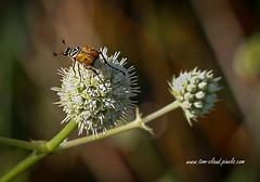 Bug and Wildflower (tclaud2002) Tags: bug insect macro wildlife wildflower blossom bloom perch perched nature mothernbature sweetbay naturalarea sweetbaynaturalarea palmbeachcounty jupiter florida outdoors usa