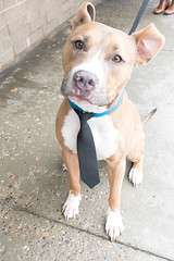 King (Pet Haven) Tags: pitbullterrier funnyears tie