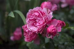 Roses in the garden, Norway (Ingunn Eriksen) Tags: rose flower mygarden nikond750 nikon