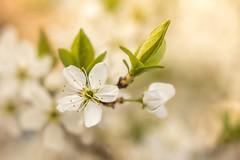 Golden Blossom (Janette Paltian) Tags: janettepaltian 650d canon tessar 50mm vintagelens altglas vintage flower gold white blume weis green grün spring frühling